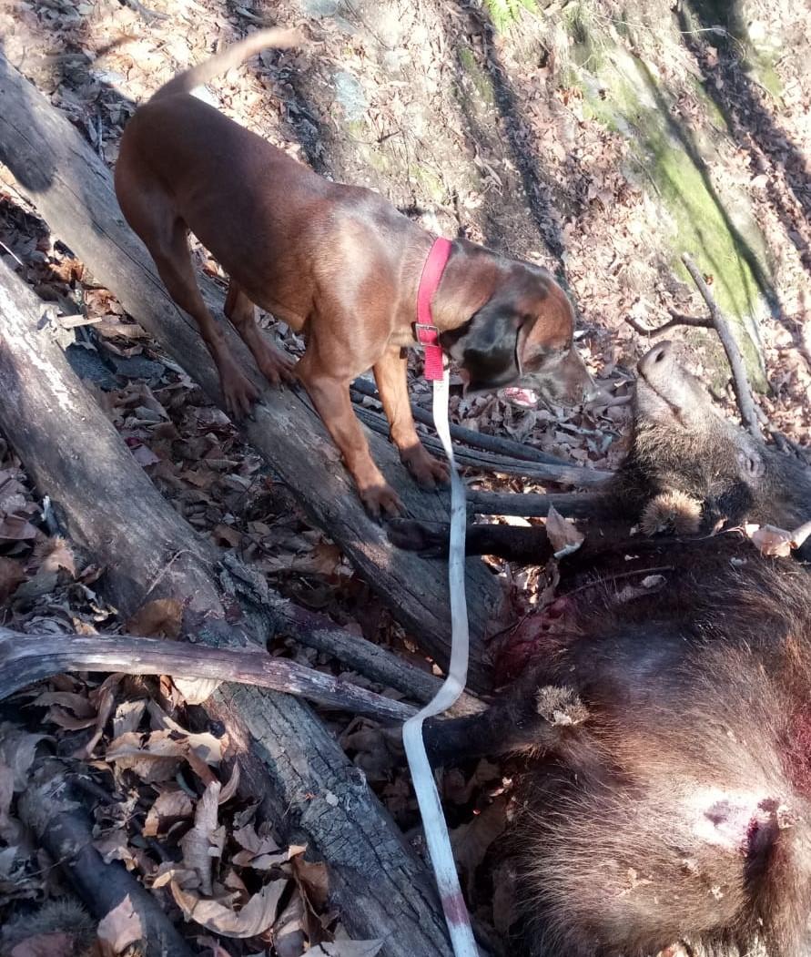 Malattia di Aujeszky nel cinghiale e rischio Pseudorabbia nei cani